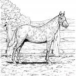Koń Appaloosa o cętkowanym umaszczeniu