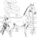 American Saddlebred