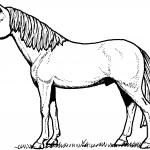 Ogier - dorosły niekastrowany koń...