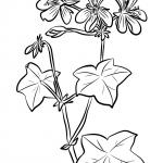 Pelargonia bluszczolistna